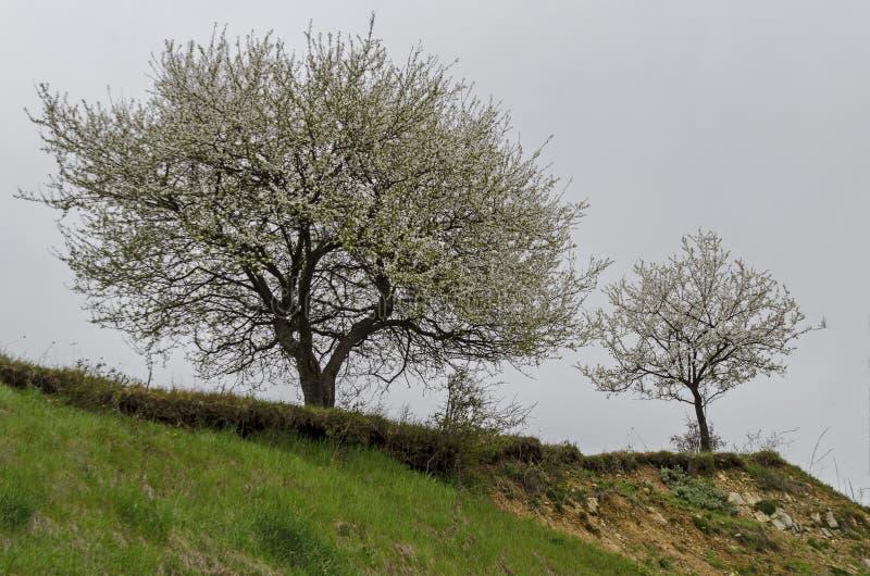 野生李树春天场面与新绿色叶子和绽放的在山坡, Plana山 免版税库存图片