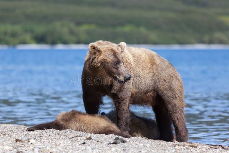 野生棕熊北美灰熊熊属类演员保护在湖的逗人喜爱的小的小熊 下跌 涉及在背景湖的海滩 免版税库存照片