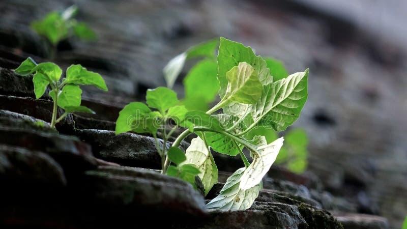 野生植物的生命力在古老,瓦屋顶增长 免版税库存照片