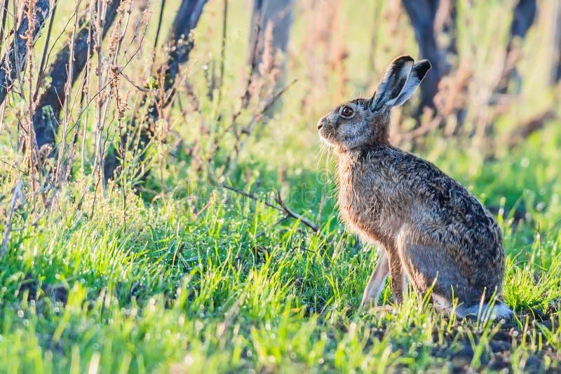 野生欧洲野兔天兔座Europaeus画象在绿草的与葡萄园在druing好的日落光的春天 库存照片