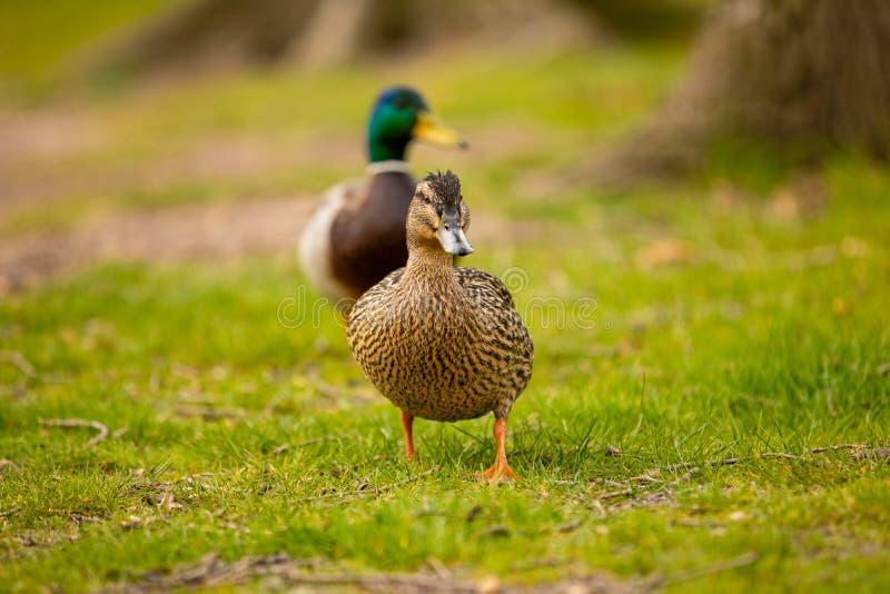 野生母鸭子或野鸭画象或者语录platyrhynchos在地面草的城市公园在布拉格 免版税库存照片