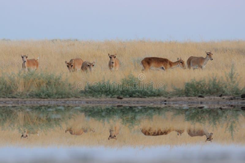 野生母Saiga羚羊在干草原近的水池 免版税库存图片