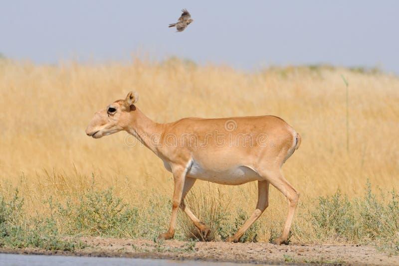 野生母Saiga羚羊近浇灌在干草原和飞行的la 库存照片