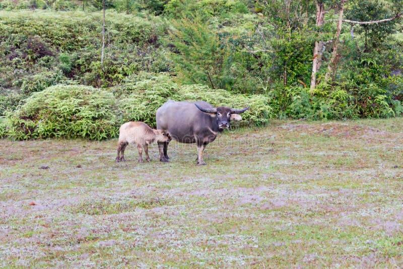 野生水牛住在森林 免版税库存照片