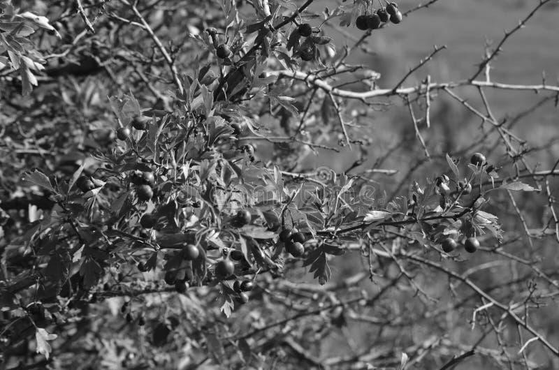 野生灌木果子  夏天徒步游览在区域 库存照片