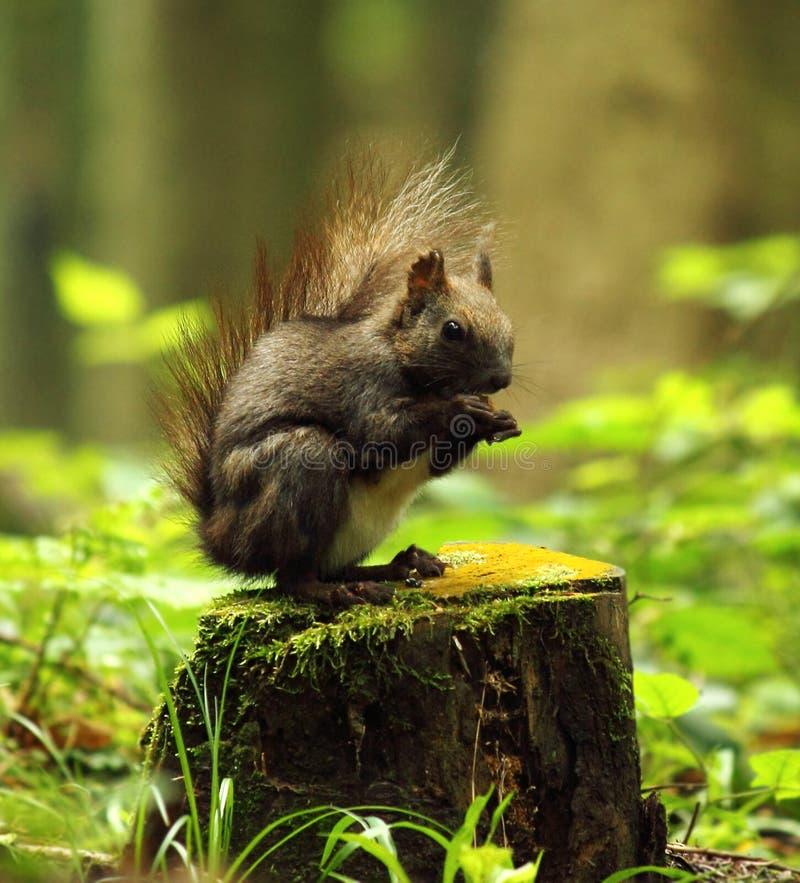 野生灰鼠 库存照片
