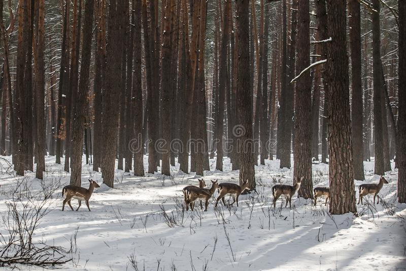 野生狍在积雪的冬天森林里,储备Kyiv地区,乌克兰 免版税库存照片