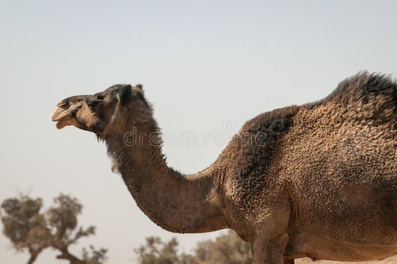野生独峰驼在摩洛哥沙漠 库存图片