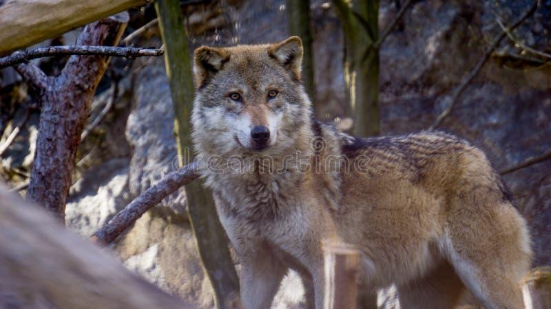 野生狼在奥地利 免版税库存照片