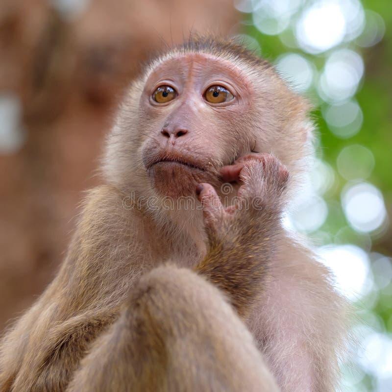 野生猴子画象在森林关闭的看法 免版税库存照片