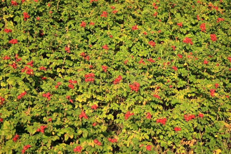 野生玫瑰果灌木本质上 库存照片