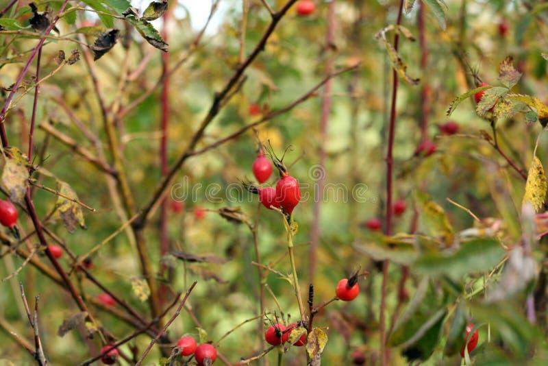 野生玫瑰果(野蔷薇)灌木本质上 库存图片