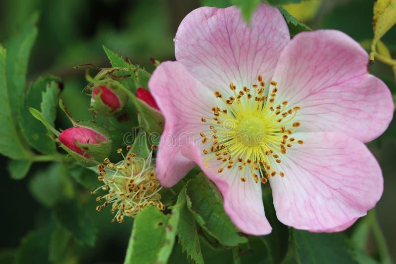野生玫瑰色灌木绽放的细节  免版税库存照片