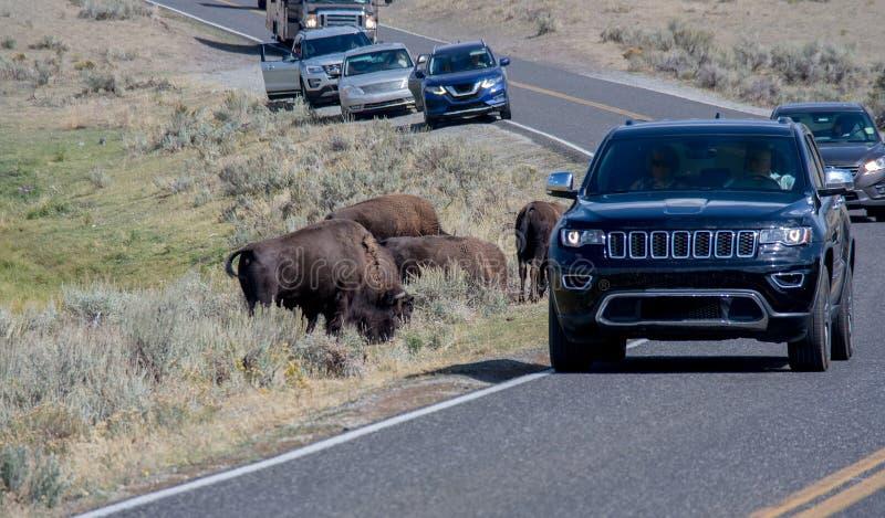 野生生物交通堵塞 库存图片