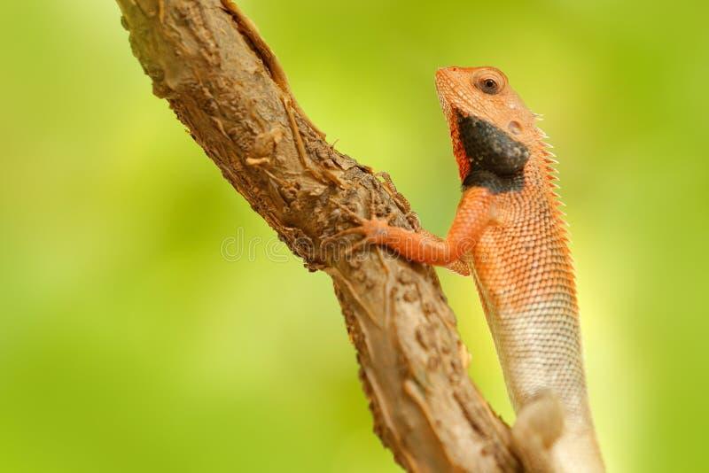 野生生物印度 印地安庭院蜥蜴杂色的Calotes,异乎寻常的热带动物的细节眼睛画象在绿色自然栖所 免版税库存照片