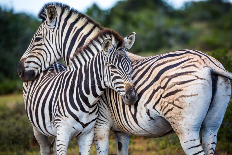野生生物在南非 免版税库存图片
