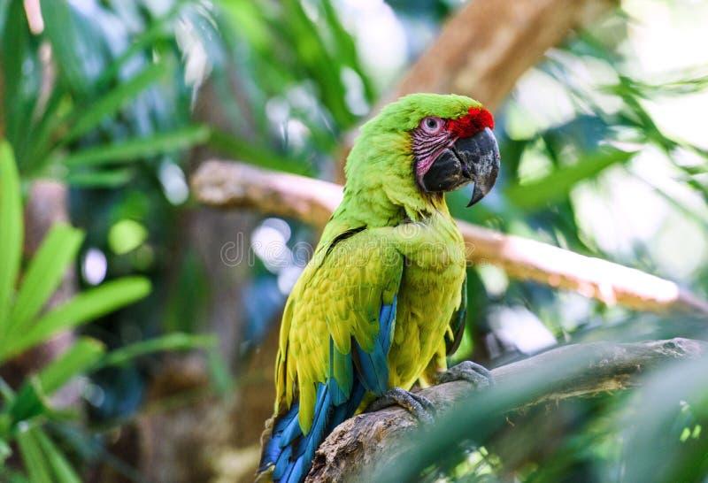 野生生物在哥斯达黎加 鹦鹉 库存图片
