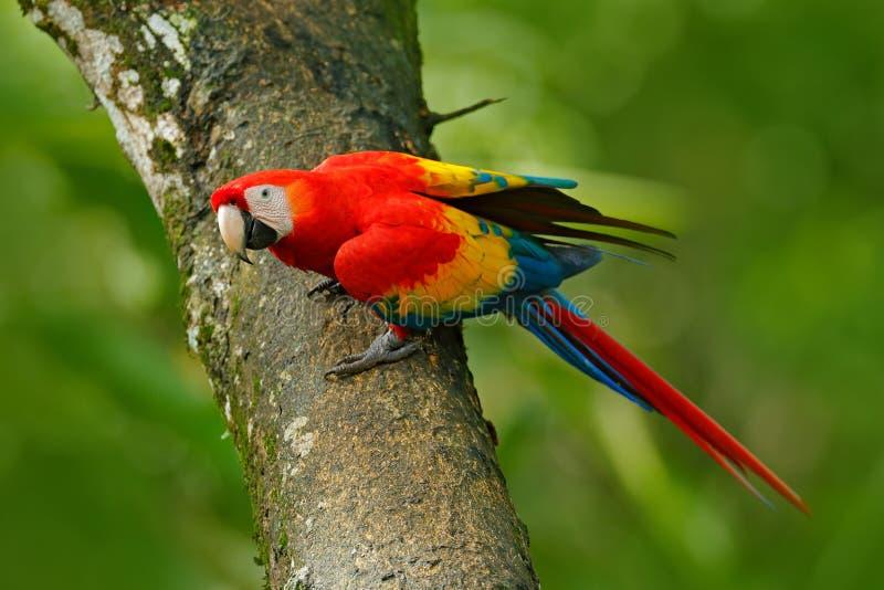 野生生物在哥斯达黎加 在绿色热带森林里模仿猩红色金刚鹦鹉, Ara澳门,哥斯达黎加,从热带自然的野生生物场面 图库摄影