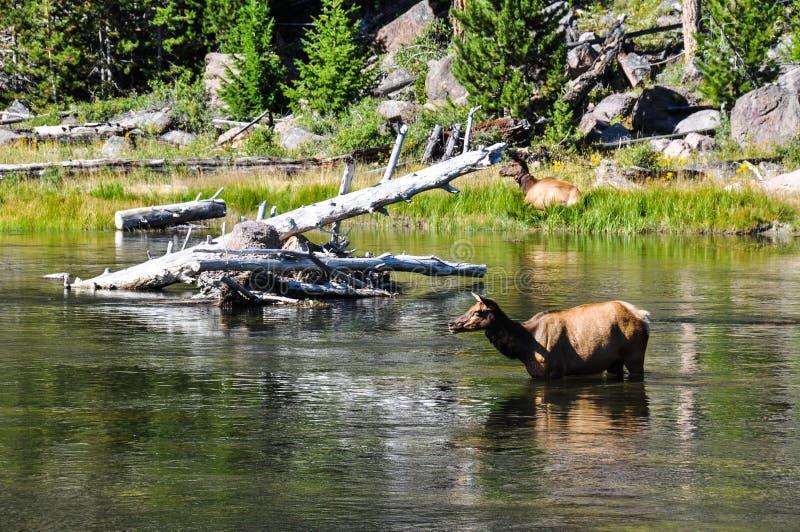 野生生物在nat黄石许多风景的风景之一中  免版税库存图片