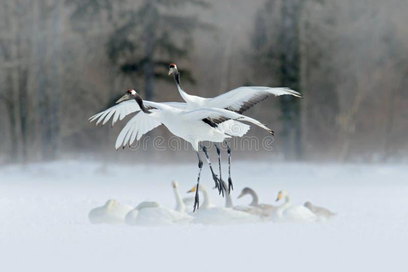 野生生物场面从冬天亚洲 两在飞行中鸟 在飞行的两台起重机与天鹅 飞行的白色鸟红加冠了起重机,粗碎屑japon 免版税库存图片