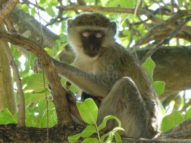 野生生物摄影在博茨瓦纳 免版税库存图片