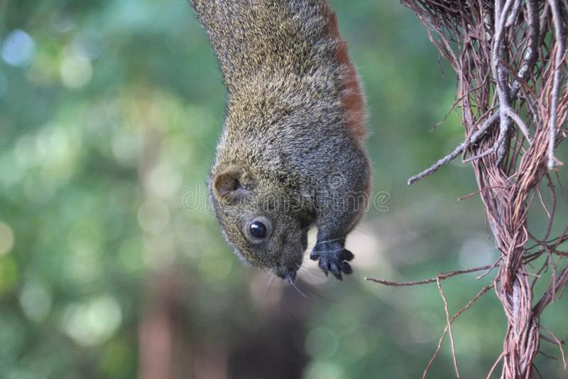 野生生物摄影:在树的一只垂悬的灰鼠 免版税库存照片