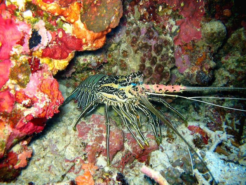 野生生物水下的龙虾特写镜头照片  它有一种桃红色和蓝色颜色 龙虾来自五颜六色的珊瑚 免版税库存图片