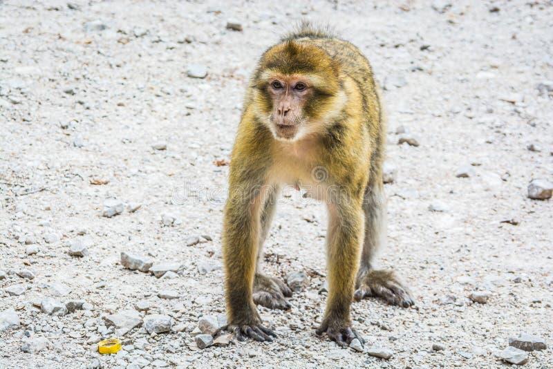 野生生物短尾猿猴子在艾兹鲁,摩洛哥附近的摩洛哥雪松森林里 免版税库存图片