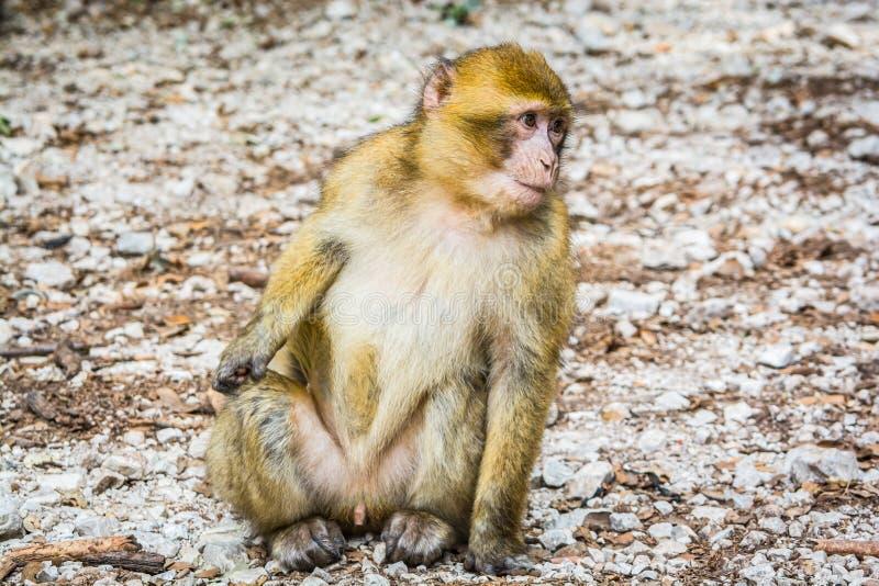 野生生物短尾猿猴子在艾兹鲁,摩洛哥附近的摩洛哥雪松森林里 库存照片