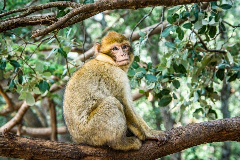 野生生物短尾猿猴子在艾兹鲁,摩洛哥附近的摩洛哥雪松森林里 图库摄影