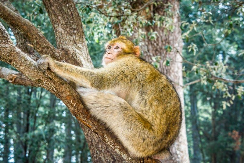 野生生物短尾猿猴子在艾兹鲁,摩洛哥附近的摩洛哥雪松森林里 免版税库存照片