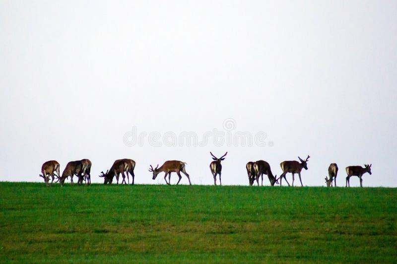 野生生物背景 在绿色草甸的鹿 灰色天空 生长鹿角 在天际的鹿 图库摄影