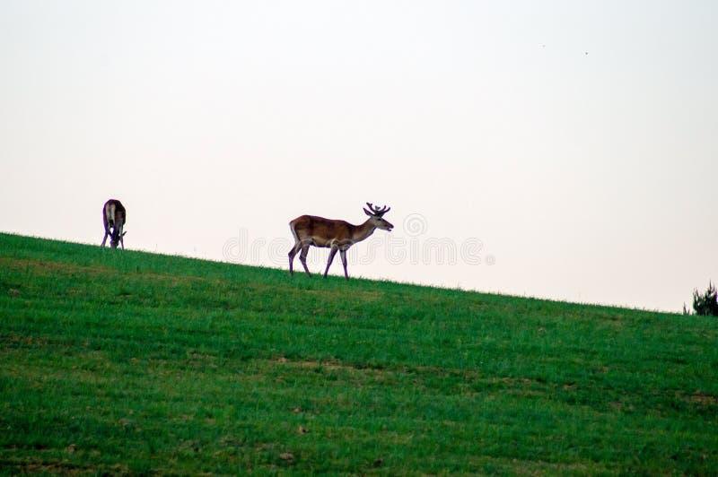 野生生物背景 在绿色草甸的鹿 灰色天空 生长鹿角 在天际的鹿 免版税库存图片