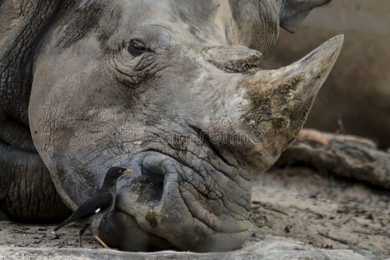 野生生物观点的肖象关闭的与大垫铁的犀牛 免版税图库摄影