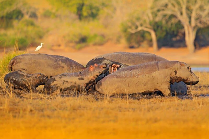 野生生物非洲,河马奔跑,与幼小非洲河马, s,与晚上太阳,动物在自然水栖所, Chobe河, 图库摄影