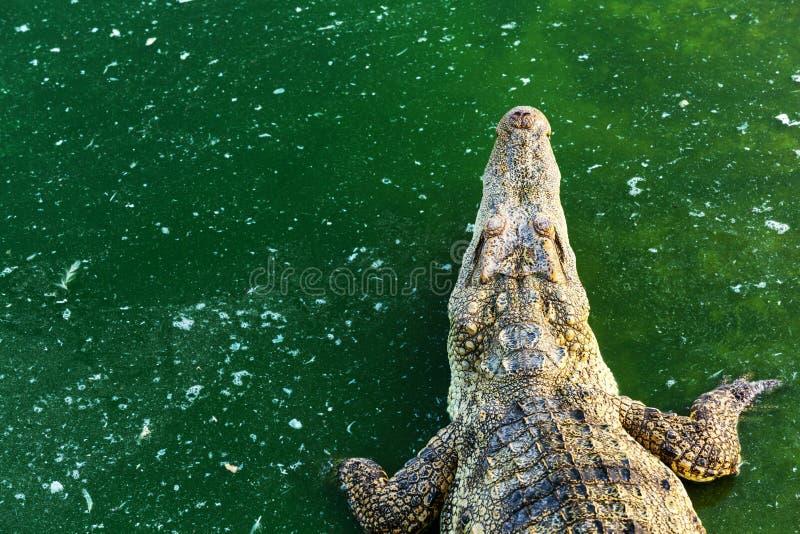 野生生物鳄鱼在绿河的水中 与拷贝空间的爬行动物动物 免版税库存照片