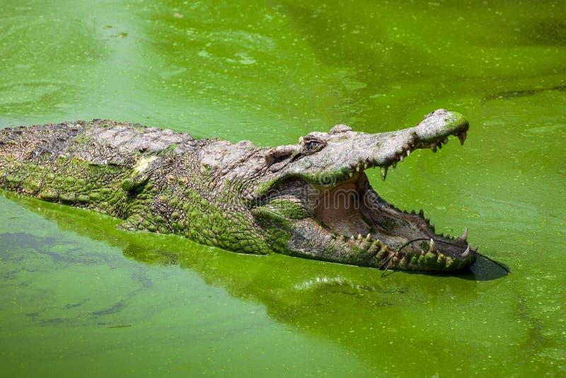 野生生物鳄鱼开放嘴 库存照片