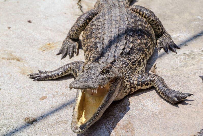 野生生物鳄鱼开放嘴 库存图片