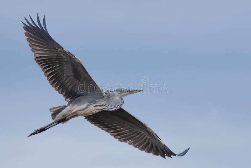 野生生物:作为任意的一只苍鹭作为鸟 免版税库存图片