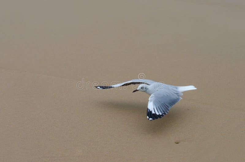 野生生物:桑迪鸥滑翔机 免版税库存照片