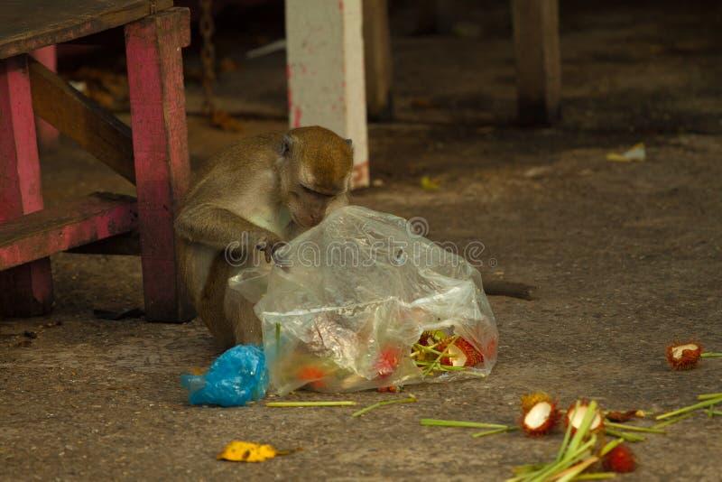 野生生物猴子steeling垃圾,文莱 免版税库存图片