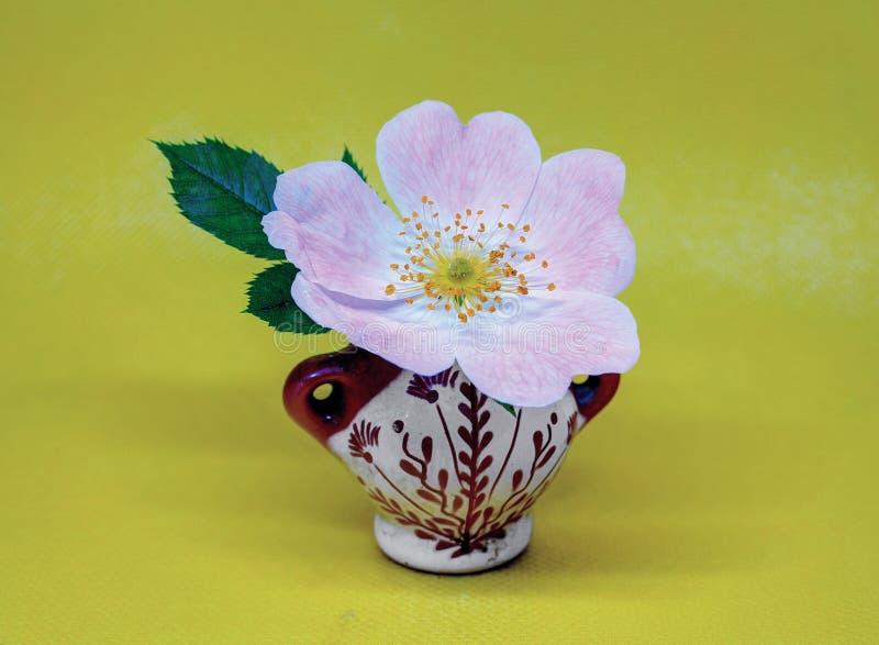 野生白桃红色玫瑰 免版税库存图片