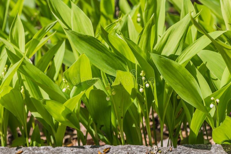 野生白色铃兰或可以百合与美好的绿色叶子绽放在春天 库存照片