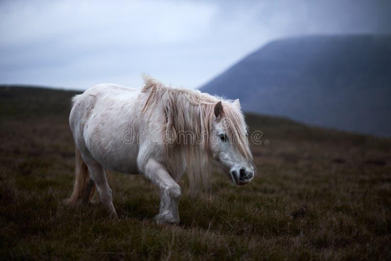 野生白马,在Llangorse湖附近的威尔士山 免版税库存照片