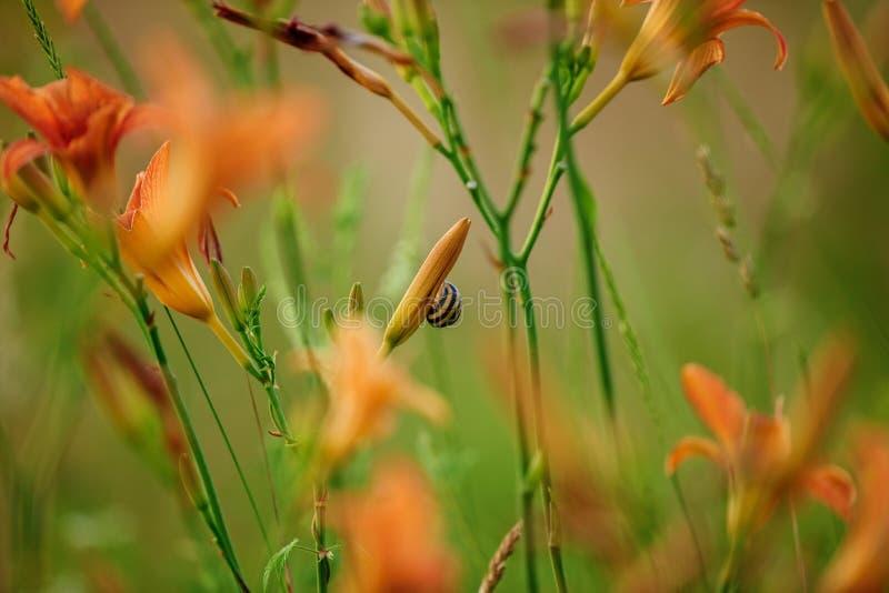 野生百合橙色花与一颗子弹的在花 图库摄影