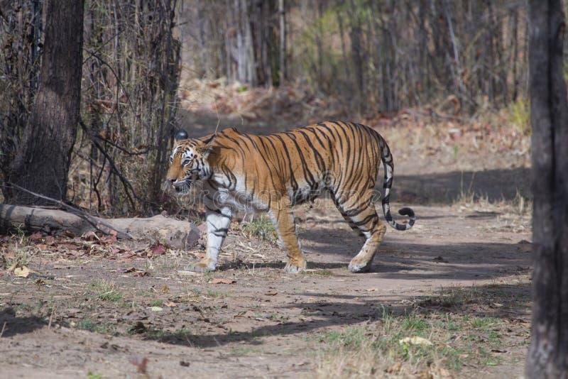 野生皇家孟加拉老虎在印度密林 库存照片