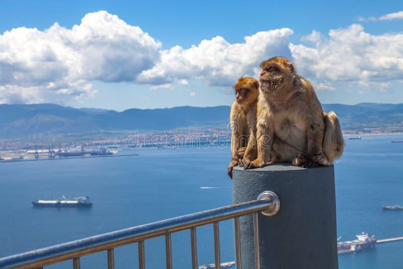 野生短尾猿直布罗陀 免版税库存图片