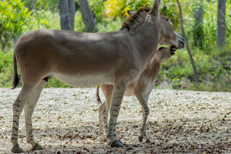 野生索马里驴子驴母亲和孩子 免版税库存图片