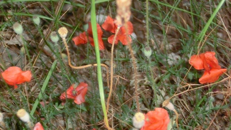野生红色鸦片花在草丛林的  免版税图库摄影