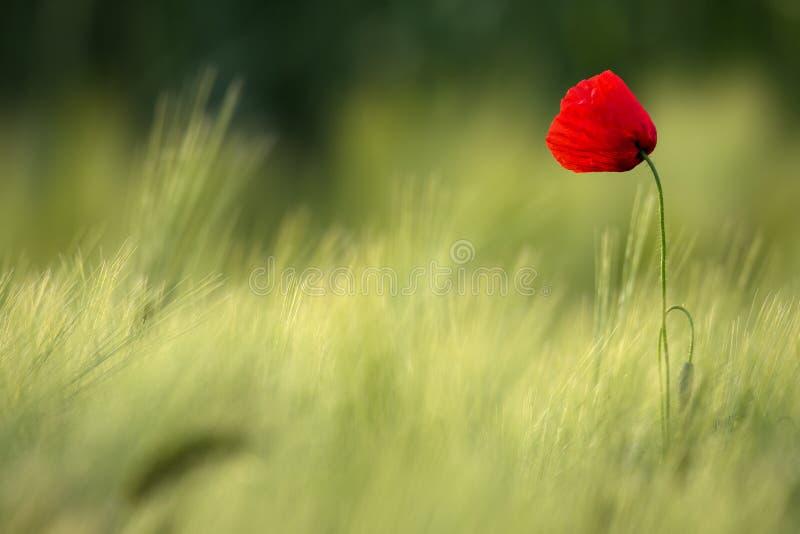 野生红色鸦片,与浅景深的射击,在一块黄色麦田在阳光下 在麦子中的偏僻的红色鸦片特写镜头 库存图片